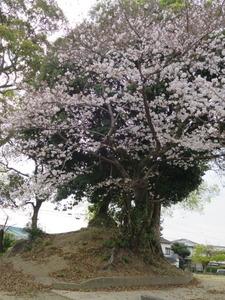 3大谷古墳1号墳の桜