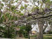 甲植木大日堂藤棚八重桜