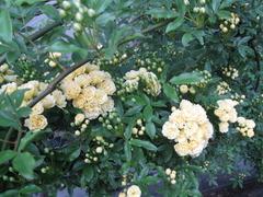 1延寿寺前道端の木香薔薇