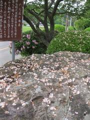 4赤児石散桜アップ