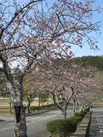 5ゴルフ場桜並木