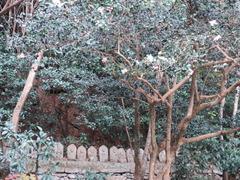 3鎮国寺三十三観音と白花藪椿