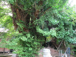 2大原神社銀杏の幹枝葉