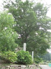 1ケヤキ樹林