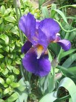 紫色のジャーマンアイリス