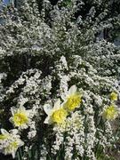 雪柳と水仙