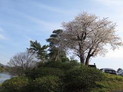 4七股池山桜