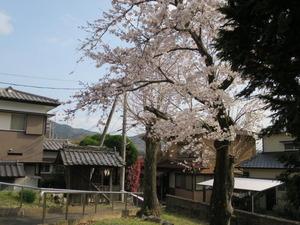 9高良内八幡宮天満と桜