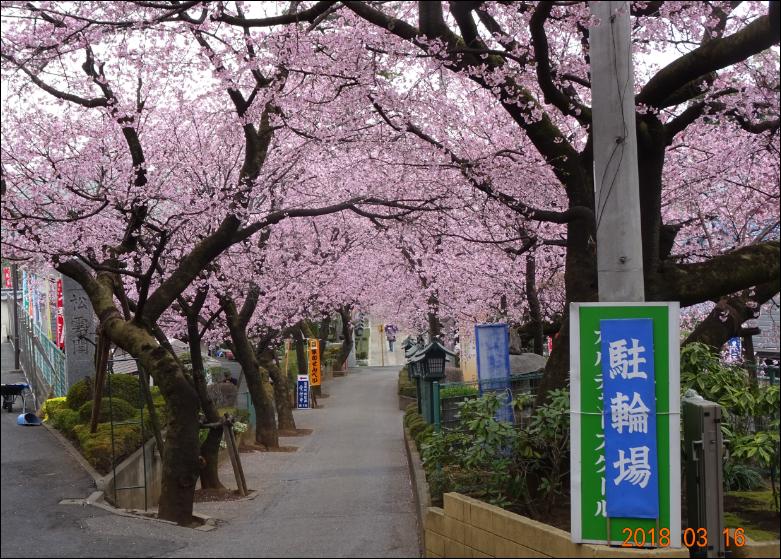 並木桜PNG