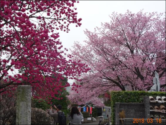 赤にピンクの桜