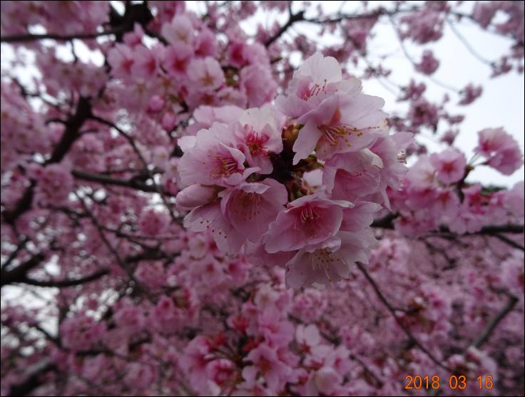 安行桜満開