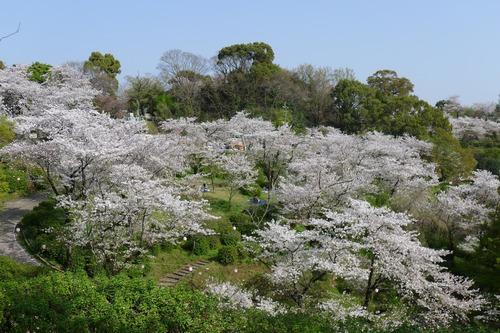 桜なら菊池神社。祭神菊池武光公をはじめ、このまちの栄枯盛衰の歴史にはいたって桜が似合う。