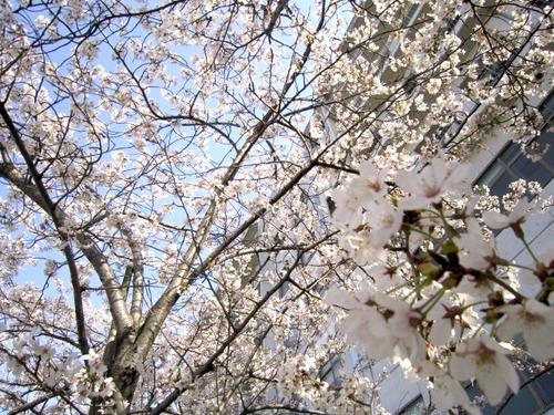 4月6日(金)月宮殿祭・お花見のご案内
