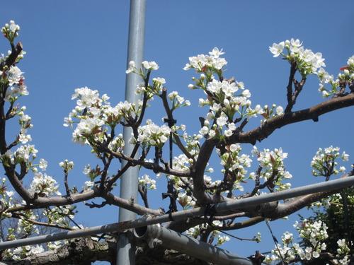 荒尾の梨の花も見応えたっぷり!