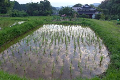 2020年6月21日(土)天草・新和町にて、桂木誠志先輩の田んぼ、九大チームが6月6日(土)に植えた餅米フィールドもスクスク!