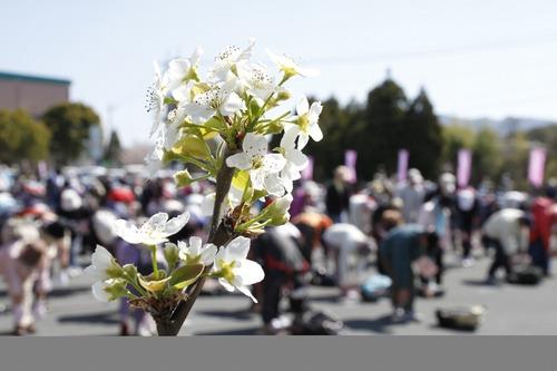 荒尾市から梨のお便り。第10回あらお梨の花元気ウォークは720名もの参加者で大繁盛!