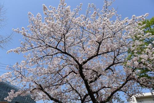芸工キャンパス花盛り、ここでお花見をしたくなる!