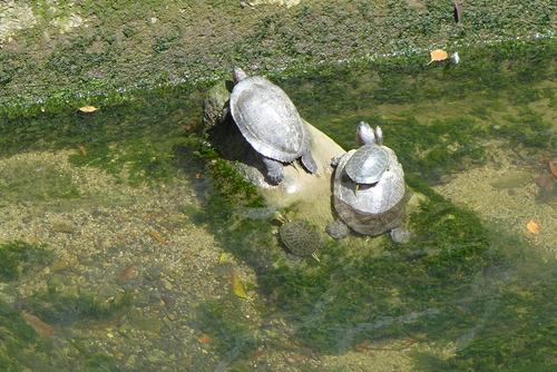 香椎川の亀天国!