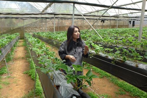 Minh Hanh女史と歩く〜Da Latの丘陵を埋め尽くす花卉栽培、名物になったイチゴ栽培等の創意工夫には日本人の技術指導も幅広く反映されている!
