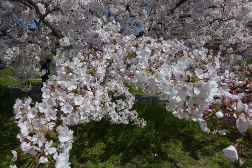 帰国してみると日本はまだまだ桜が満開です!桜花と路上。