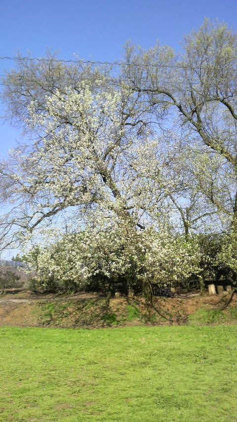 日田の豆梨の花