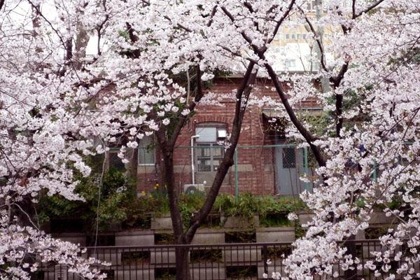 戦争遺構レンガ建築と桜