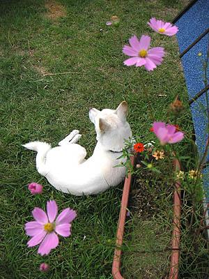 イヌリンと秋桜