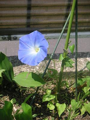 ヘブンリーブルー開花