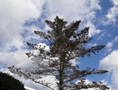 もみの木1