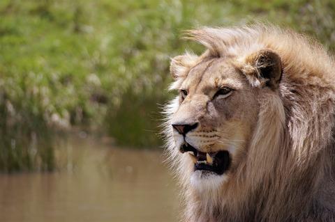 lion-5311194_1920