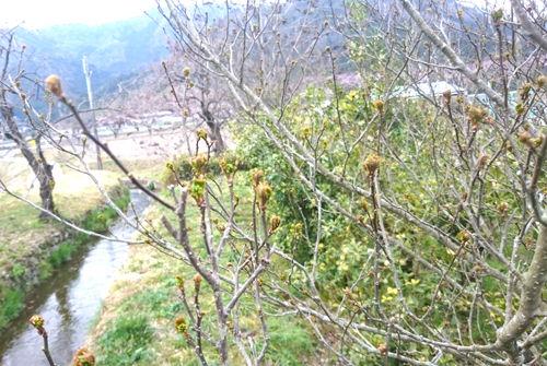 木の芽の新芽28年