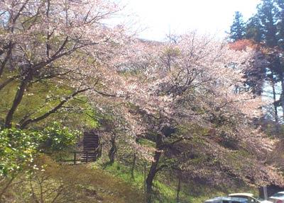 王子山の桜