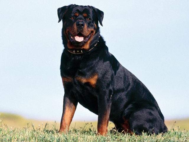 rottweile01