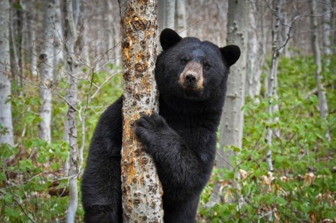 Black-Bear_Blogspot-e1429877357675