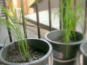 バケツ稲の育て方