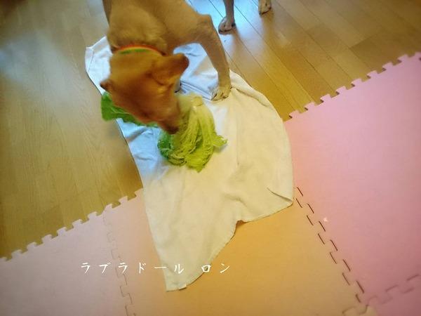 20151102 白菜の盗み食い 3