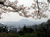 桜と黄金山