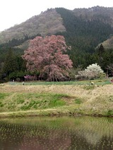 別尺の山桜