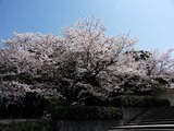 比治山の桜