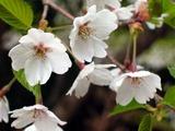 山ではまだ桜が咲いていました