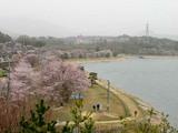 本庄貯水池と桜