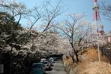 比治山の桜その1