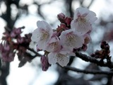 寒桜その3