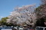 比治山の桜その2