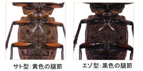 ミヤマ 型 体色