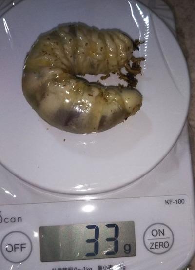 2018.11.28 幼虫 33g