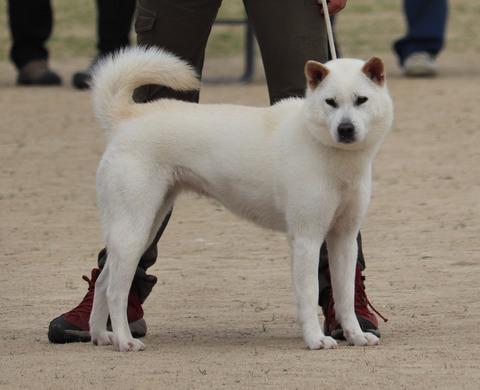 066【吹雪姫号】野州たじま犬舎(義家×信春女)中型雌部成犬組