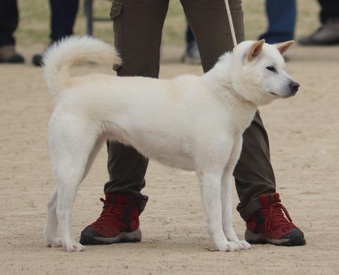 066【吹雪姫号】野州たじま犬舎(義家×信春女)中型雌部成犬組1