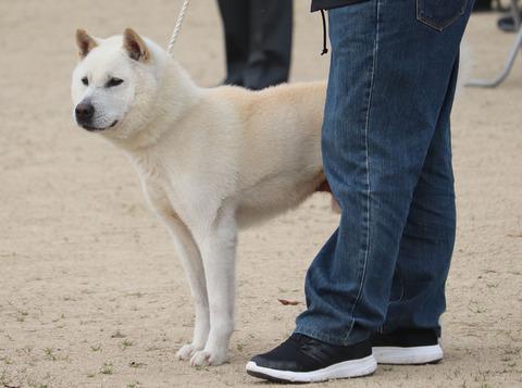 036【白雲号】信州駒津荘(武士×狼紀姫)中型雄部成犬組2席成犬賞