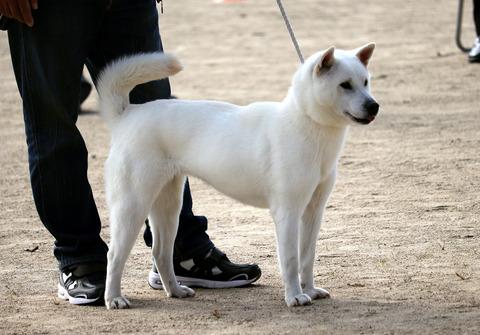 078【桜の岩号】ひめはる荘(岩の輪×秋翔姫)中型雌部成犬組